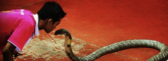 Kiss of death #kingcobra